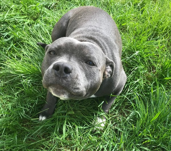 Nicky Femelle Staffy LOF reproductrice Haute Vienne
